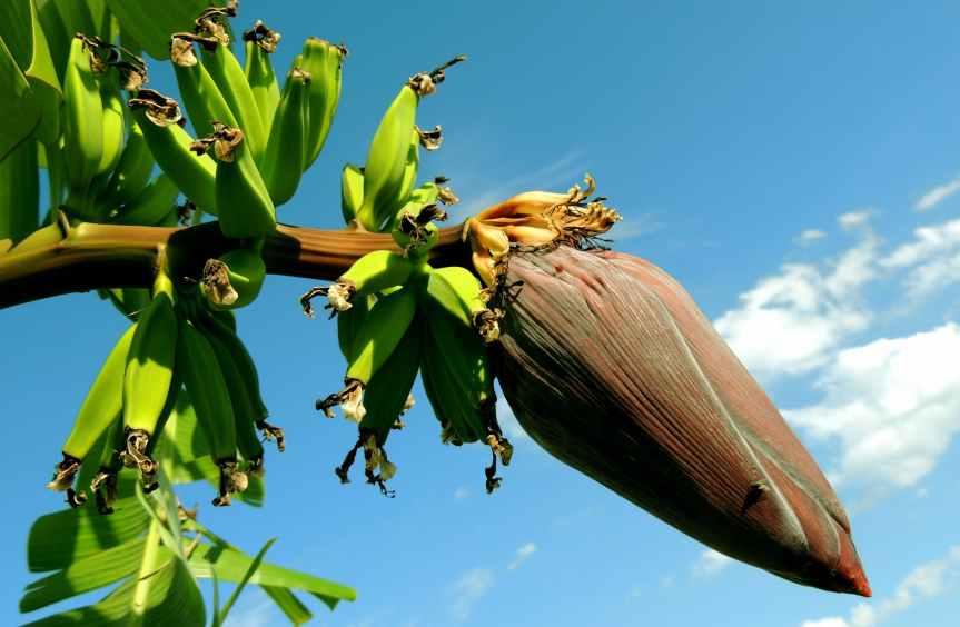 banana-banana-tree-bunch-of-bananas-fruit-60581.jpeg